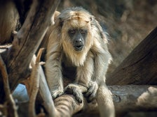 Baby Black Howler Monkey at the L.A. Zoo