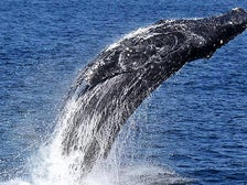 Breaching whale at LA Whale Watching