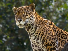 Female jaguar Johar at the L.A. Zoo