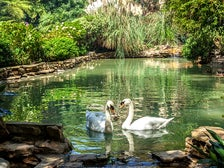 The famous swans of Hotel Bel-Air